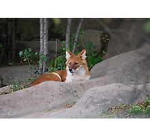 Asiatic Wild Dog: Dhole Photographic Print