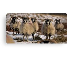 ewes Canvas Print