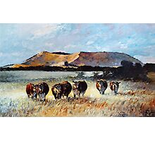 Mount Schank Herefords, South Australia Photographic Print