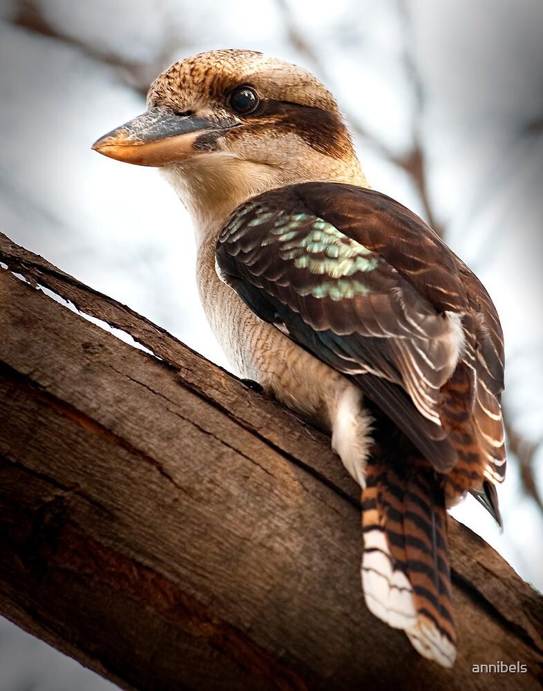 Kookaburra sits in the old gum tree... by annibels