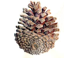 Watercolour Pinecone by Leyh