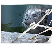 Wild Seal Feeding in the Bay Poster