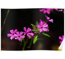 wild pink Poster