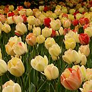 Tulip Bed by Sean McConnery