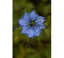 Love-in-a-mist Photographic Print