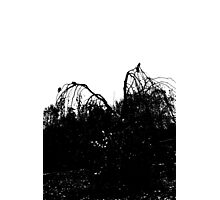 Crows Gather Photographic Print