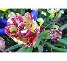 Double Tulip Photographic Print