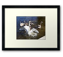 An angry male Mute Swan. Framed Print