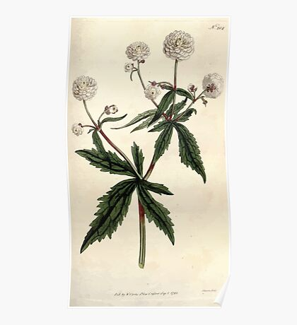 The Botanical magazine, or, Flower garden displayed by William Curtis V5 v6 1792 1793 0126 Ranunculus Aconitifolius, Mountain Crowfoot, Fair Maids of France Poster