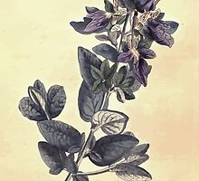 The Botanical magazine, or, Flower garden displayed by William Curtis V7 V8 1794 0060 Teucrium Latifolium, Broad Leaved Shubby Germander by wetdryvac
