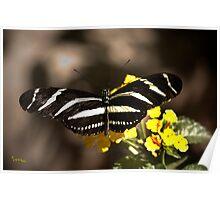 Zebra Longwing-2 Poster