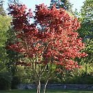 Lithia's Japanese Maple Glows In The Sun by Ajeet