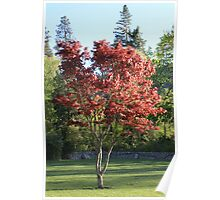 Lithia's Japanese Maple Glows In The Sun Poster