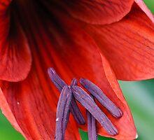 Iris in the Garden by Jim Haley