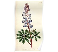 The Botanical magazine, or, Flower garden displayed by William Curtis V5 v6 1792 1793 0122 Lupinus Perennis, Prennial Lupine Poster