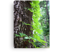 Creeping Up Canvas Print