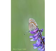 Silver-studded Blue, Plebejus argus Photographic Print