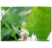 Great Green Bush-Cricket, Tettigonia viridissima Poster