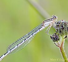 Winter Damselfly, Sympecma fusca f by pogomcl