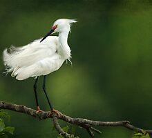 Snowy Egret II by Bonnie T.  Barry