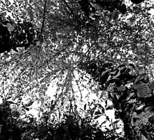 Angled Birch Tree - Black & White by Tyler Stierhoff