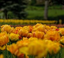 Tulips Galore - Ottawa, ON by Tracey  Dryka