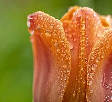 Tulip2 (macro) - Ottawa, ON by Tracey  Dryka
