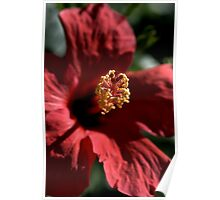 Hibiscus in Bloom Poster