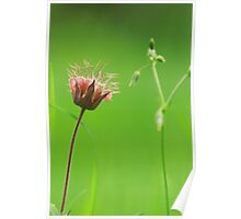 Water avens after the rain Poster