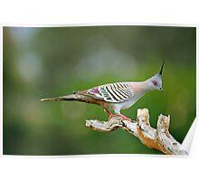 Crested Pigeon. Brisbane, Queensland, Australia. Poster