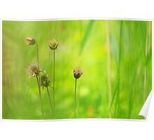 Blooming avens Poster