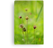 A meadow of avens Canvas Print