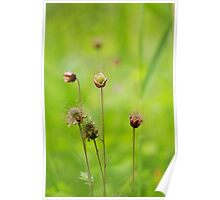 A meadow of avens Poster