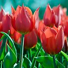 Red tulips by dominiquelandau