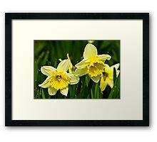 Daffodills #3 Framed Print