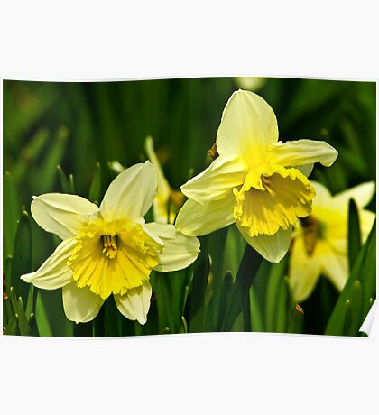 Daffodills #3 Poster