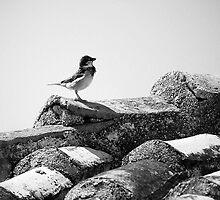 proud sparrow by savas
