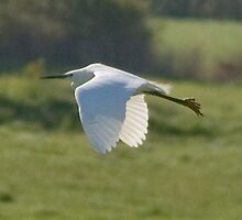 Egret in fight by David Ford Honeybeez photo