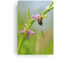 The extremely rare bearded bee orchid!! Canvas Print