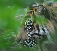 Sumatran Tiger, London Zoo ~ May 2010 by Samantha Creary