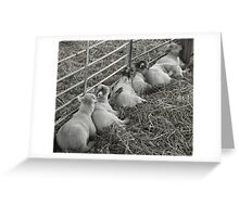 Lambs in a Line Greeting Card