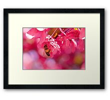 Bee and crab apple tree blossom Framed Print