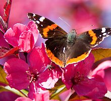 Admiral butterfly on crab apple tree blossom by Robert Kelch, M.D.