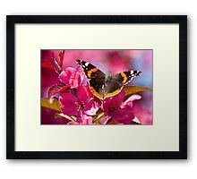 Admiral butterfly on crab apple tree blossom Framed Print