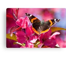 Admiral butterfly on crab apple tree blossom Canvas Print