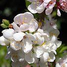 prunus elvins by Floralynne