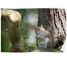Squirrel in Tree Poster