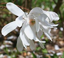 White Magnolia Blossom by SmilinEyes