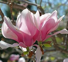 Pink Magnolia Blossoms by SmilinEyes