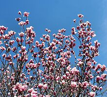 Pink Magnolias Blue Sky by SmilinEyes